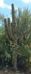 Golfball-Cactus