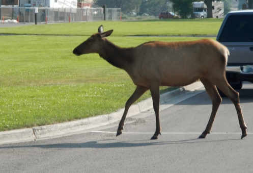 One of the two elk we saw at Mammoth Hot Springs