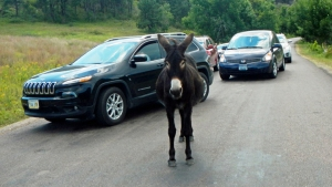 Burro-Blocking-Traffic