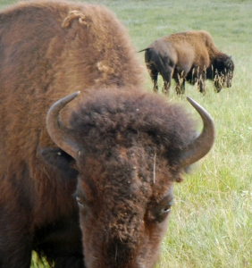 Wildlife-Loop-Bison